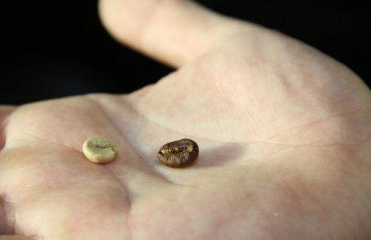 Kein Vergleich im Vergleich: Rohe Kaffeebohne (links) und fertig geröstete Kaffeebohne.