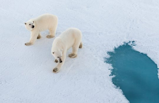 Eisbären gehören zu den Gefahren