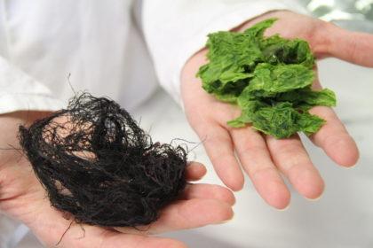 Rohstoff für nachhaltige Lebensmittelverpackung: Makroalgen. Foto: Helmut Stapel