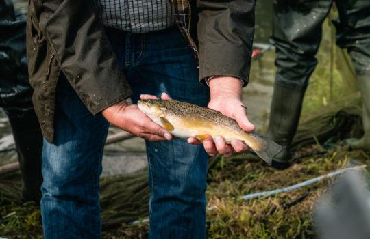 Direkt aus dem Naturteich und Teil von Deutschlands erster Fischaktie: eine Regenbogenforelle. Foto: Transgourmet