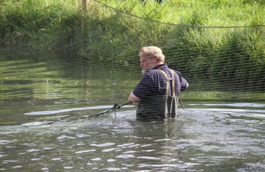 Voller Körpereinsatz zum Wohl der Fische: In den Naturteichen werden die Tiere für die Fischaktie behutsam gefangen. Foto: Helmut Stapel